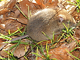 Wood mouse